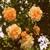 rosetyller